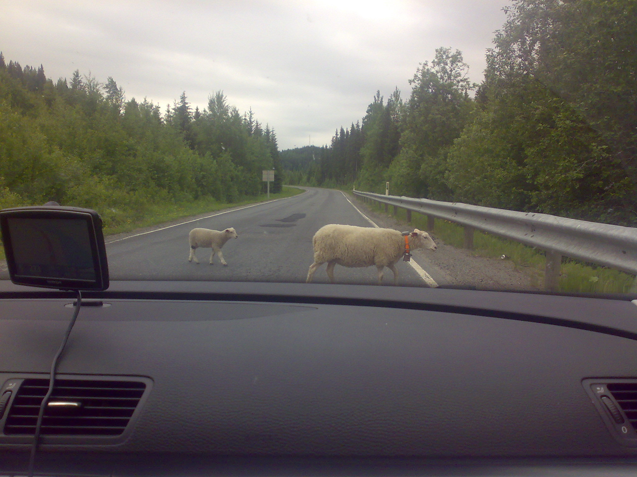 Two sheep crossing the road